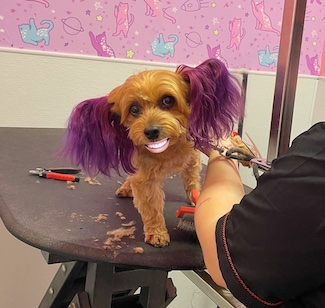 puppy getting groomed and wearing a smile
