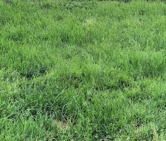 green grass that needs to be cut